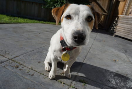 Patch, one of the Jack Russells we've been watching for the month